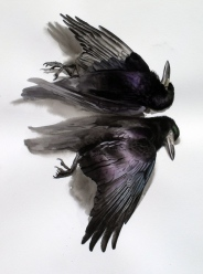 Studies of a Dead Rook (sold)