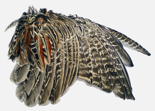 Study of a Young Pheasant's Wing (sold)