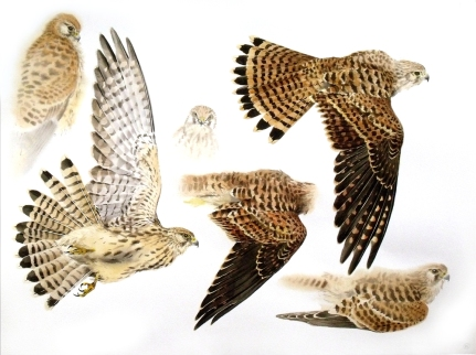 Studies of a Dead Kestrel (Juvenile) (sold)