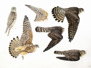 Studies of a Dead Merlin (Juvenile Male) sold