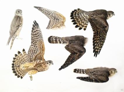 Studies of a Dead Merlin (Juvenile Male) sold