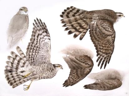 Studies of a Dead Sparrowhawk (Female) Sold
