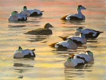Eider group, sunset