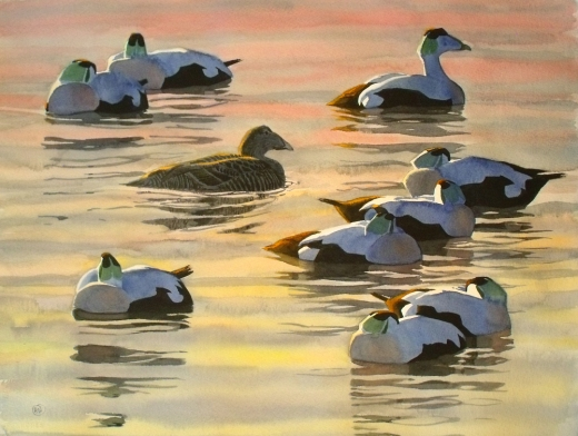 10 Eiders at Sunset