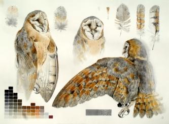 Studies of Dead Barn Owl (sold)