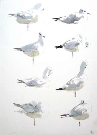 8 Black Headed Gull Studies