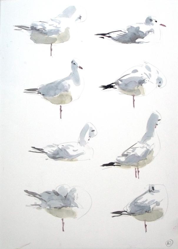 8 Black Headed Gull Studies