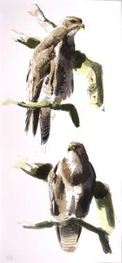 2 Buzzard Studies