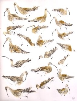 21 Feeding Curlew Studies (sold)