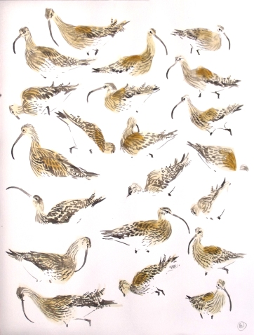 21 Feeding Curlew Studies