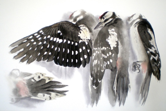 Studies of a Dead Great Spotted Woodpecker (sold)