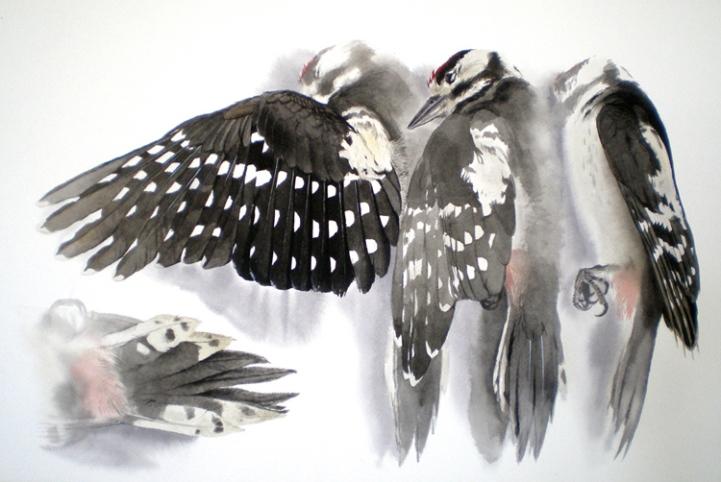 Studies of a Dead Great Spotted Woodpecker