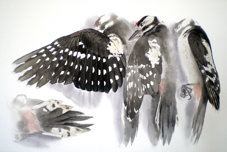 Studies of a Dead Great Spotted Woodpecker