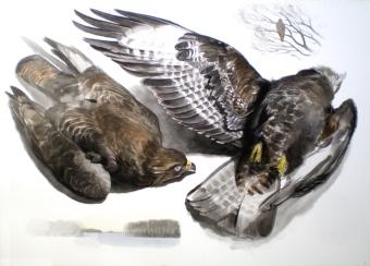 Studies of a Dead Buzzard