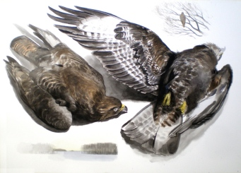 Studies of a Dead Buzzard