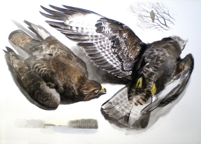Studies of a Dead Buzzard (sold)