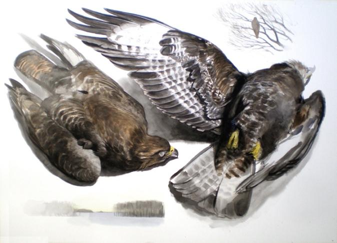 Studies of a Dead Buzzard (sold)