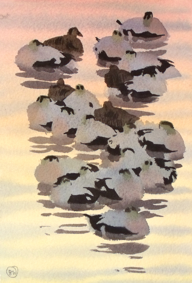 Eider group, sunset (sold)