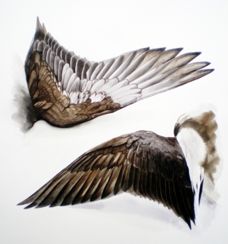 Studies of the Wing of a Long Tailed Duck (sold)