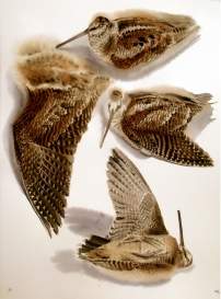 Studies of a Dead Woodcock (sold)