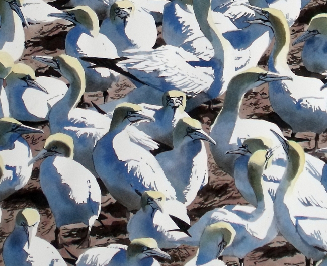 Gannets at Bass