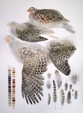Studies of a Dead Common Partridge (sold)
