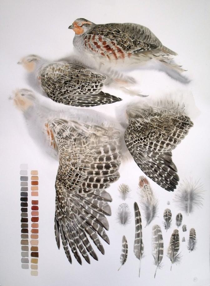 Studies of a Dead Common Partridge (sold)