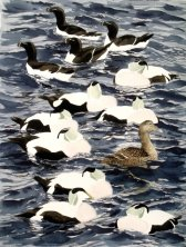 Eiders and razorbills, Hammeren (sold)