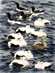 Eiders and razorbills, Hammeren