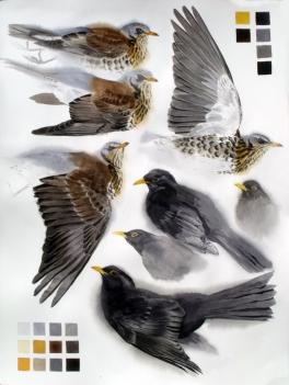 Studies of a Dead Fieldfare and Blackbird male (sold)