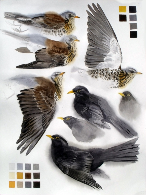 Studies of a Dead Fieldfare and Blackbird male (sold)