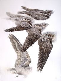 Studies of a Dead Nightjar (sold)
