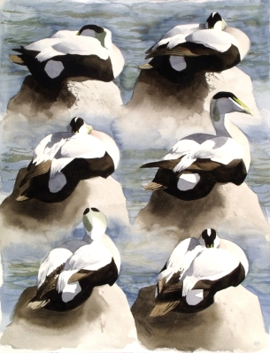 Six Studies of an Eider Drake (sold)