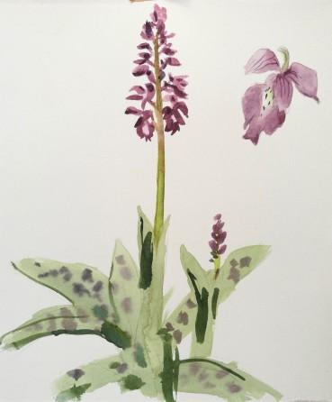 Western Marsh Orchid - Maj Gøgeurt