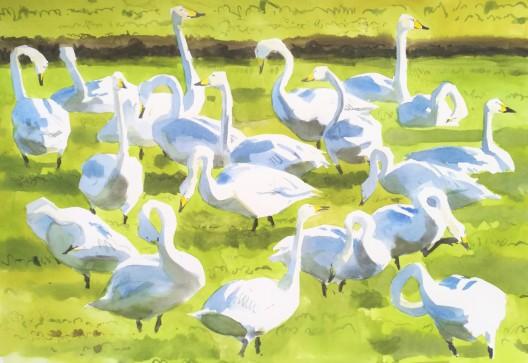 Whooper swans, Vestermarie