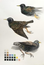 Studies of a Dead Starling