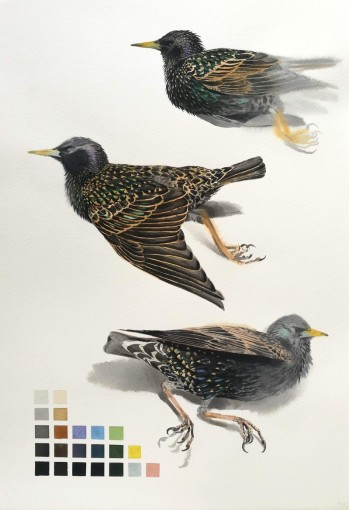 Studies of a Dead Starling (sold)