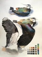 Studeis of a dead lapwing male (sold)