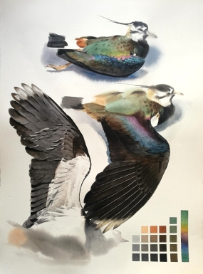 Studeis of a dead lapwing male