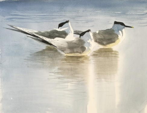 Three Resting Sandwich Terns (sold)
