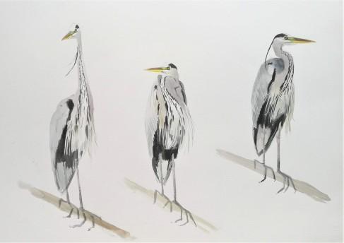 Grey Heron Studies, Nexø.