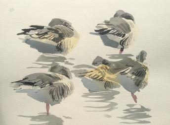 Resting greylags. Nexø Sydstrand