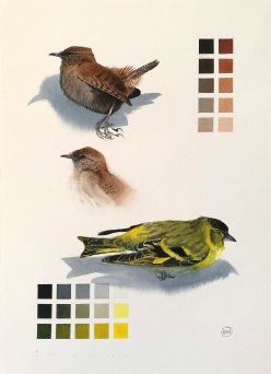Study of a dead Wren and Siskin (sold)